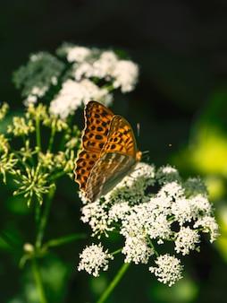 Jasny pomarańczowy duży motyl z masy perłowej siedzi na białym kwiatku przed niewyraźną zieloną trawą. ścieśniać.
