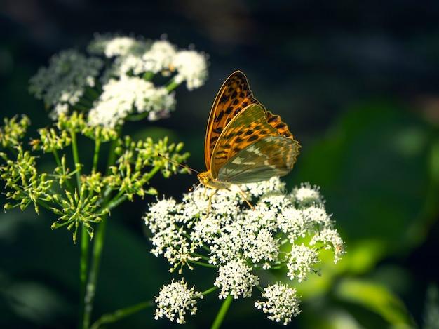 Jasny pomarańczowy duży motyl z masy perłowej siedzi na białym kwiatku przed niewyraźną zieloną trawą
