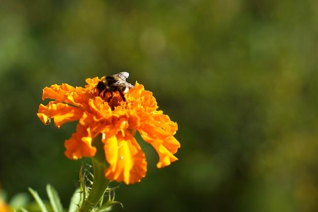 Jasny pomarańczowy kwiat nagietka i trzmiel na nim.
