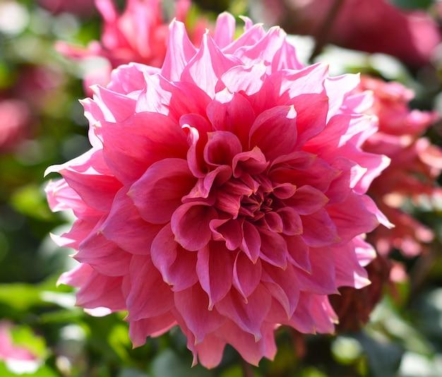 Jasny różowy kwiat dalii