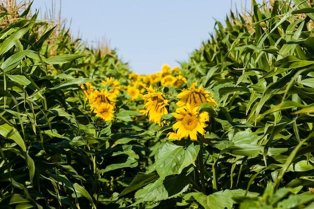 Jasny słonecznik z żółtymi płatkami na rolniczym polu kwiatostanów słonecznika rosnących latem razem z kukurydzą