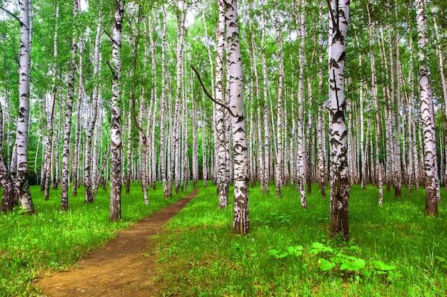Jasny słoneczny brzozowy las ze ścieżką w lecie. zielona trawa na ziemi. brązowa ziemna droga.