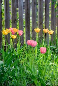 Jasny słoneczny obrazek z kolorowymi pięknymi delikatnymi tulipanami w trawie przy drewnianym płocie