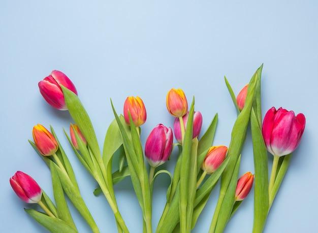 Jasny świeży bukiet różowych tulipanów na niebieskim tle