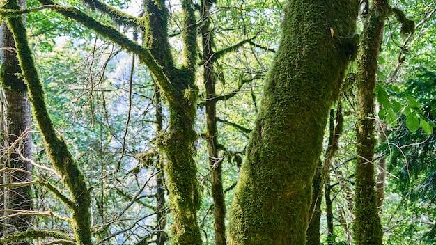 Jasny zielony mech na drzewach w lesie. soczi