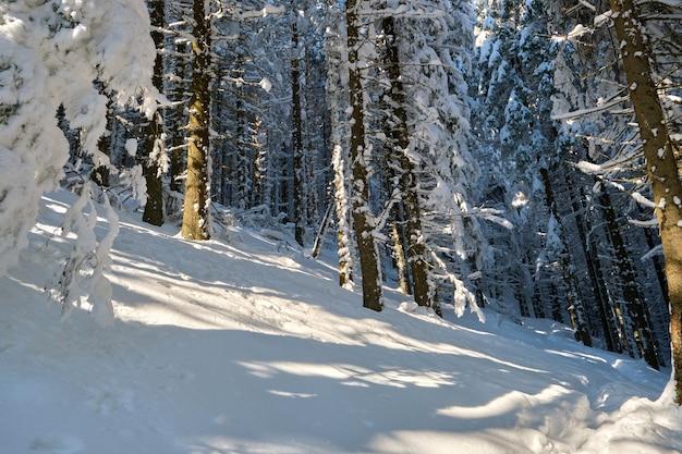Jasny zimowy krajobraz z sosnowymi drzewami pokrytymi świeżym opadłym śniegiem w górskim lesie w zimny zimowy dzień.