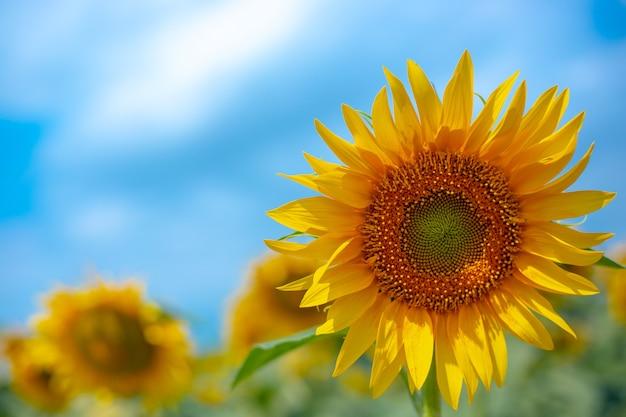 Jasny żółty kwitnący słonecznik z bliska