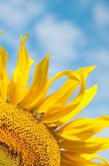 Jasny żółty słonecznik z pszczołą