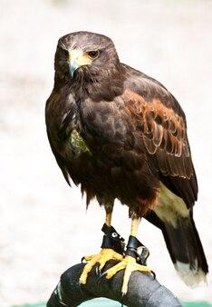 Jastrząb w rezerwacie przyrody, sutherland, szkocja
