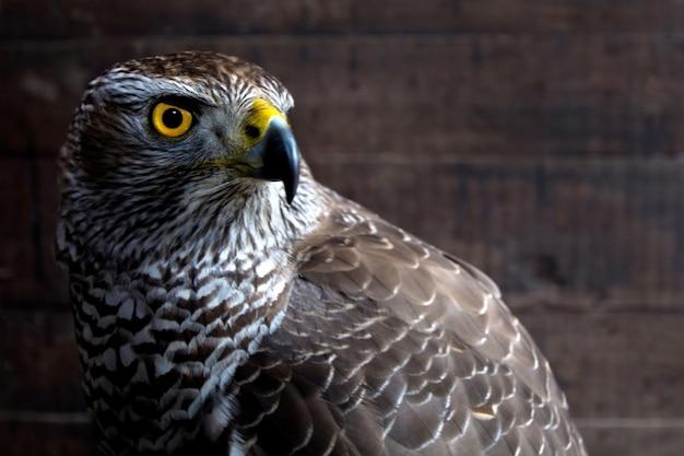 Jastrząb z bliska. portret ptaka drapieżnego. dzikie zwierze.