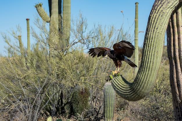 Jastrzębi harris's hawk lądujący na saguaro z wings spread