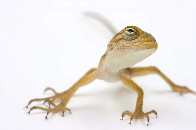 Jaszczurka azjatycka