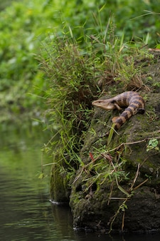 Jaszczurka błękitnojęzyczna znana jako tiliqua gigas