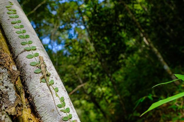 Jaszczurka brunatna to gatunek kameleona pochodzący z tajlandii w azji.