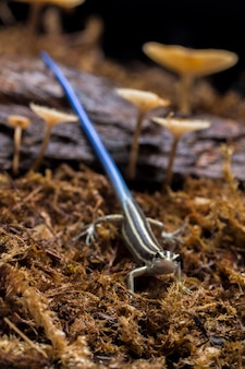 Jaszczurka emoia caeruleocauda pacific bluetail skink