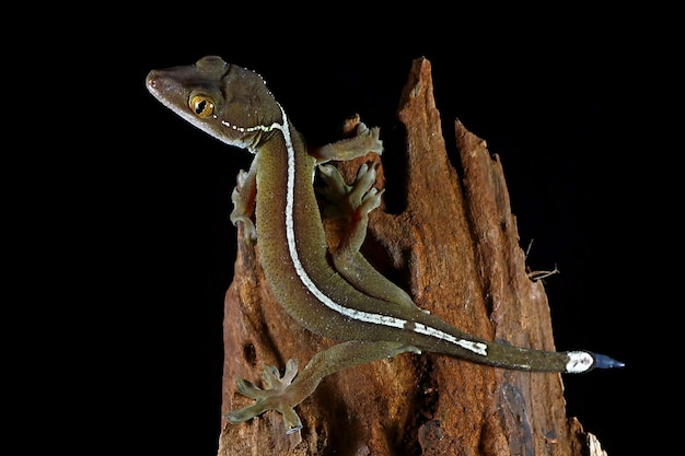 Jaszczurka gekon z białej linii
