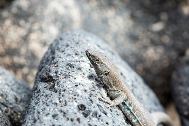Jaszczurka kanaryjska wygrzewa się w słońcu. gallotia galloti.