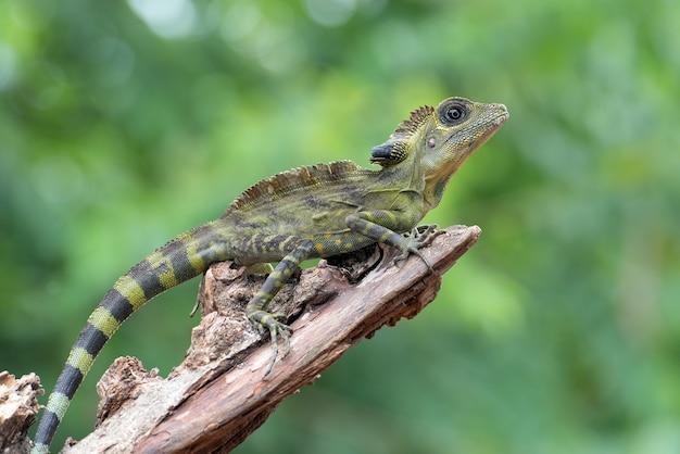 Jaszczurka kątowa gonocephalus bornensis na pniu drzewa