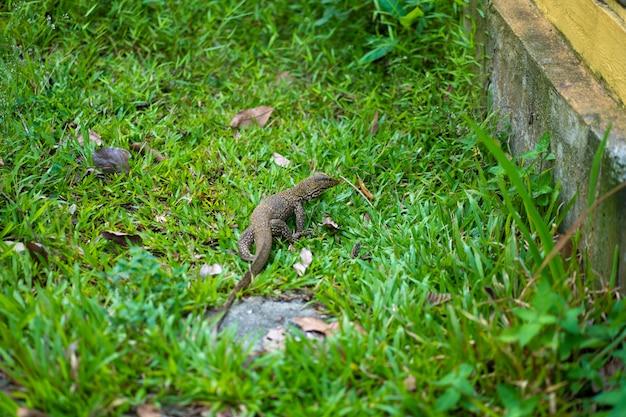 Jaszczurka komodo chodzi po trawniku w parku