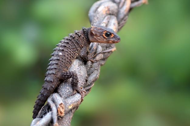 Jaszczurka krokodyla na gałęzi z bliska