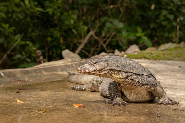 Jaszczurka monitorująca wodę, varanus salvator, w rezerwacie mokradła sungei buloh