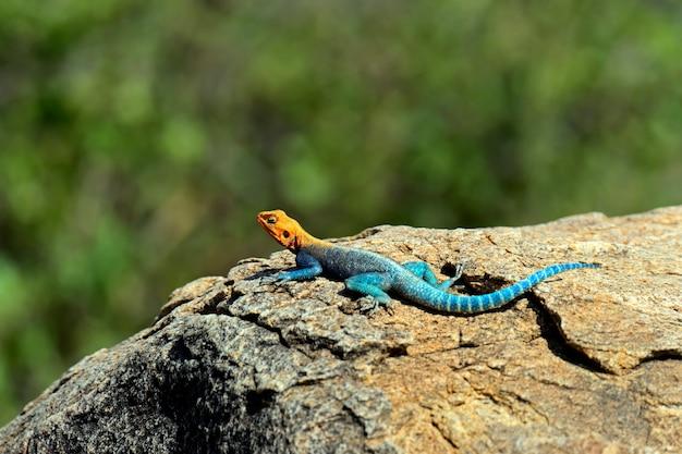 Jaszczurka na afrykańskiej sawannie w ich naturalnym środowisku