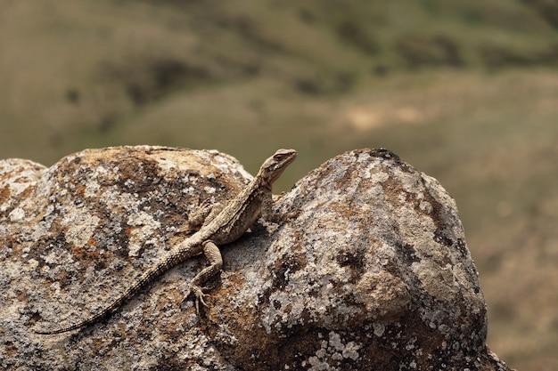 Jaszczurka na skale, kaukaska agama (paralaudakia caucasia)