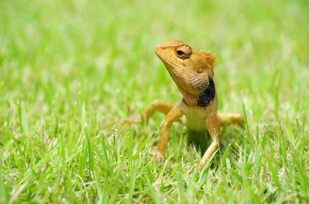 Jaszczurka na trawie