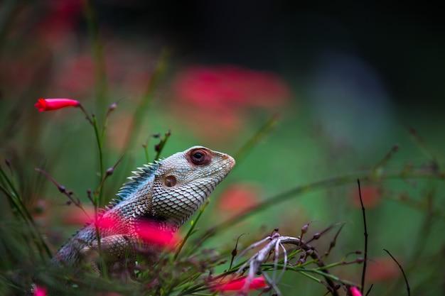Jaszczurka ogrodowa lub znana również jako jaszczurka orientalna na gałęzi rośliny