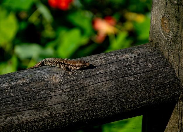 Jaszczurka opalająca się na drewnianym płocie