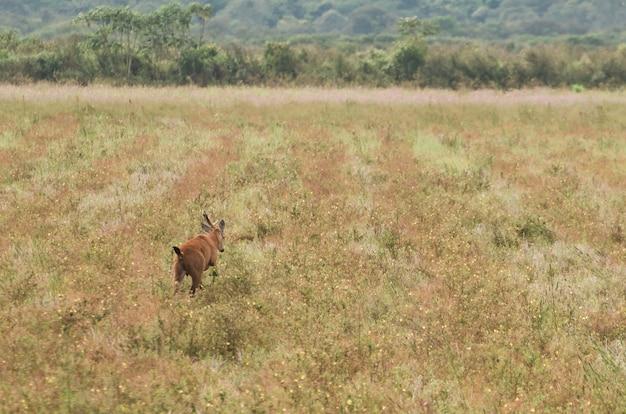 Jaszczurka pantanalu na brazylijskich terenach podmokłych