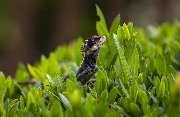 Jaszczurka siedzi w trawie z bliska