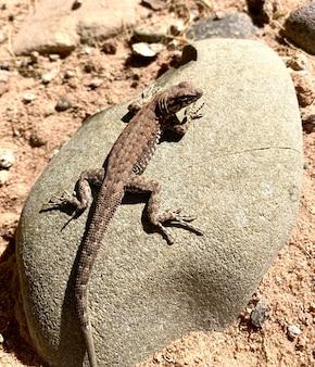 Jaszczurka szałwia na kamieniu