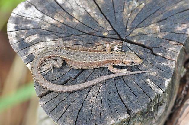 Jaszczurka wygrzewa się na pniu drzewa