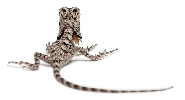 Jaszczurka z falbanką, znana również jako jaszczurka z falbanką, chlamydosaurus kingii, przed białym tle