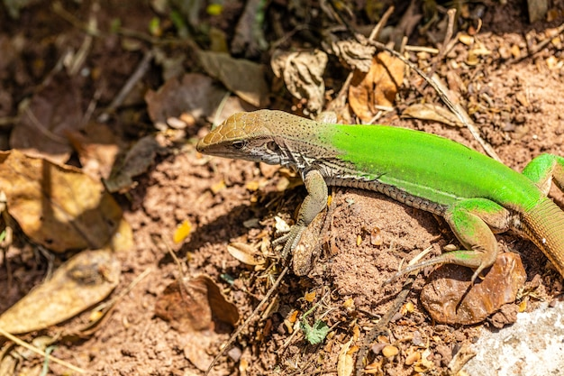 Jaszczurka zielona (ameiva ameiva) opalająca się..
