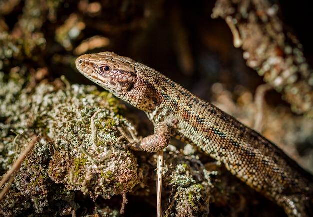 Jaszczurka zwyczajna, zootoca vivipara w naturalnym środowisku