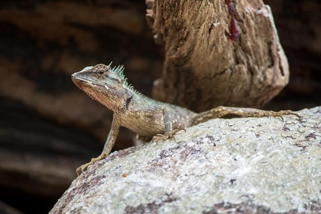 Jaszczurki na skałach