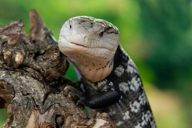 Jaszczurki panana wystają długie niebieskie języki na drewnie jaszczurki panana zbliżenie