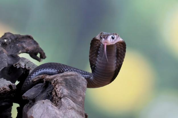 Javan cobra wychodzi z drewnianego otworu
