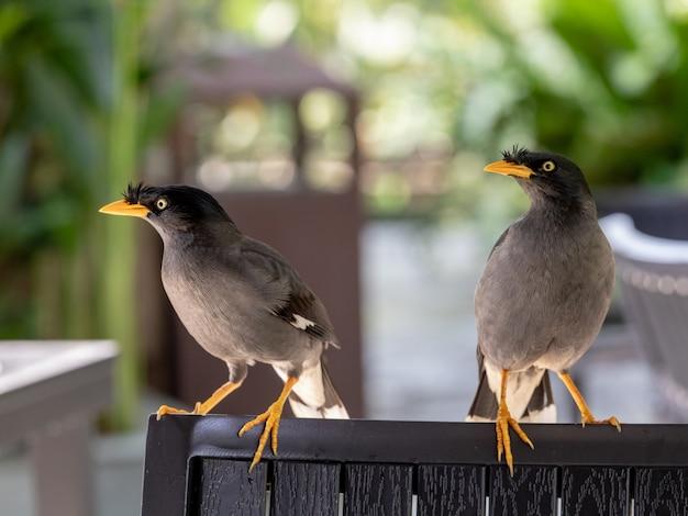 Javan mynah, acridotheres javanicus, dwa ptaki siedzące na krześle w restauracji na świeżym powietrzu w singapurze.
