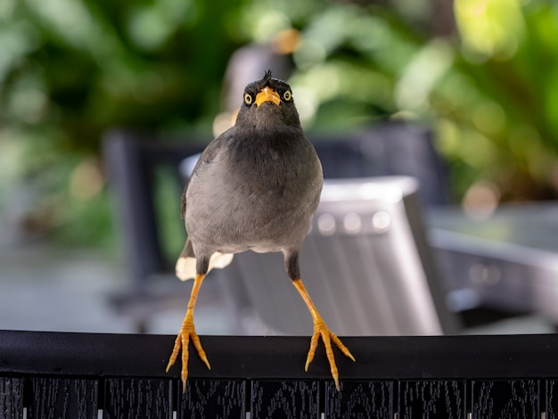 Javan mynah, acridotheres javanicus, ptak siedzi na krześle, patrząc bezpośrednio w kamerę.