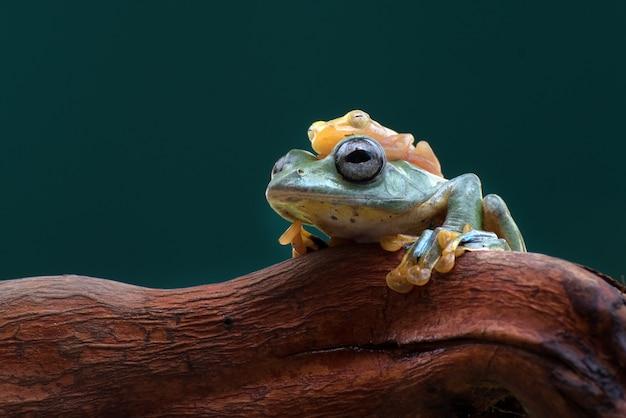 Jawajska latająca żaba z szklaną żabą na głowie