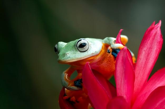 Jawajska rzekotka drzewna na kwiatek, żaba na czerwonym kwiecie