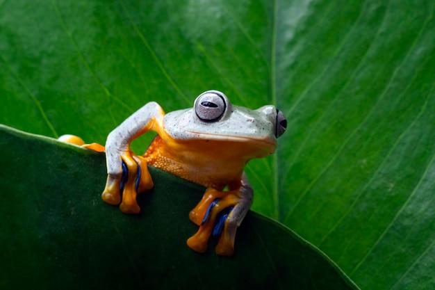 Jawajska rzekotka drzewna na zielonych liściach, latająca żaba na liściach