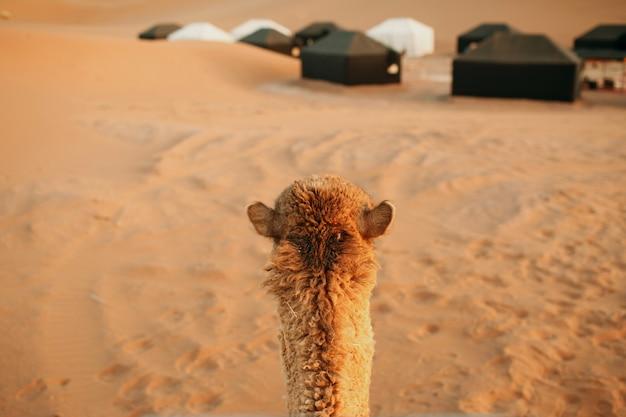 Jazda na wielbłądzie. widok z pierwszej osoby. pustynia sahara