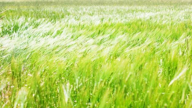 Jęczmień dziedzinie w wietrzny dzień