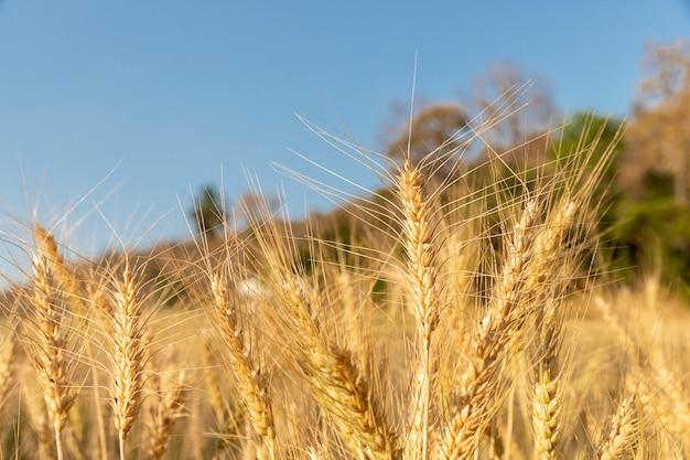 Jęczmień w polu z słonecznym dniem. piękna przyroda i świeże powietrze.