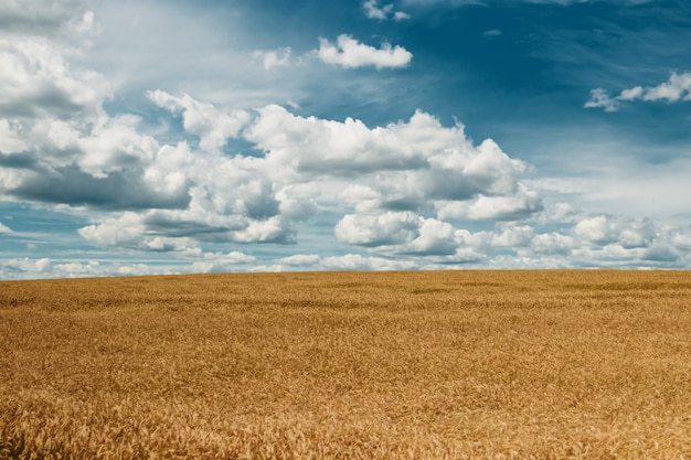 Jęczmień żółte pole