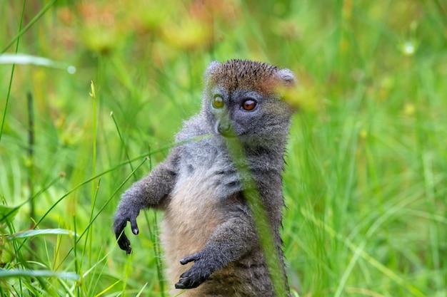Jeden bambusowy lemur między wysoką trawą wygląda zaciekawiony